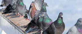 Birds Control Sydney