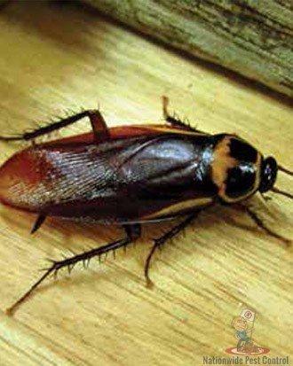 Cockroach Removal Sydney