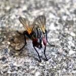 Flies in Australia