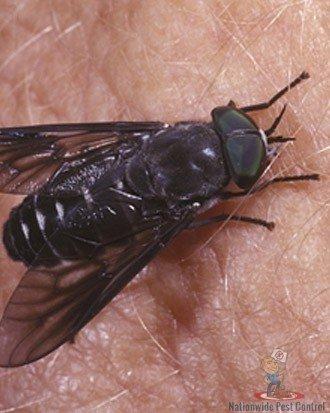 Fly Removal Sydney