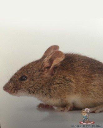 Rat Removal Sydney