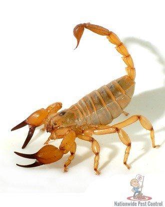 Scorpion Removal Sydney