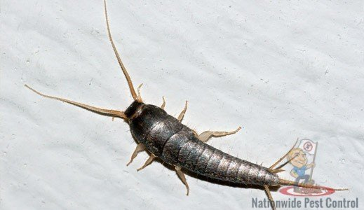 Silverfish Control & Removal Services