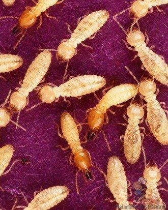 Termite Removal Sydney