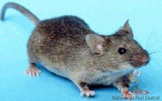 Mice Control Sydney