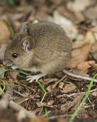 Mice Removal Sydney