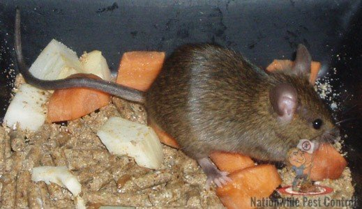 Mice Control & Removal Services