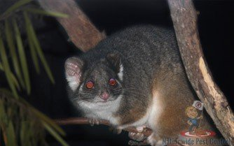 Possum Removal Sydney