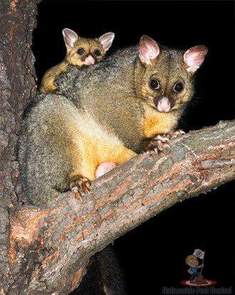 Possum Control Sydney