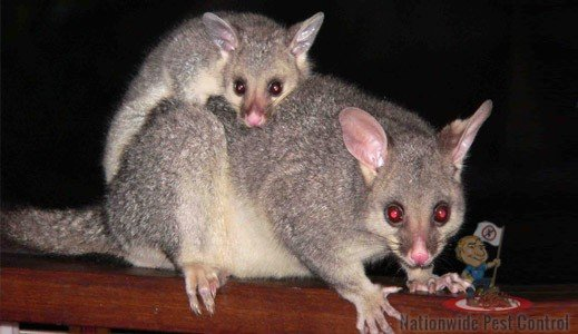 Possum Removal & Control