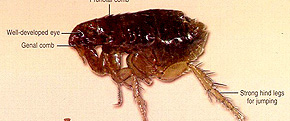 <br><br>Fleas in Australia