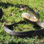 Snakes in Australia<br><br>