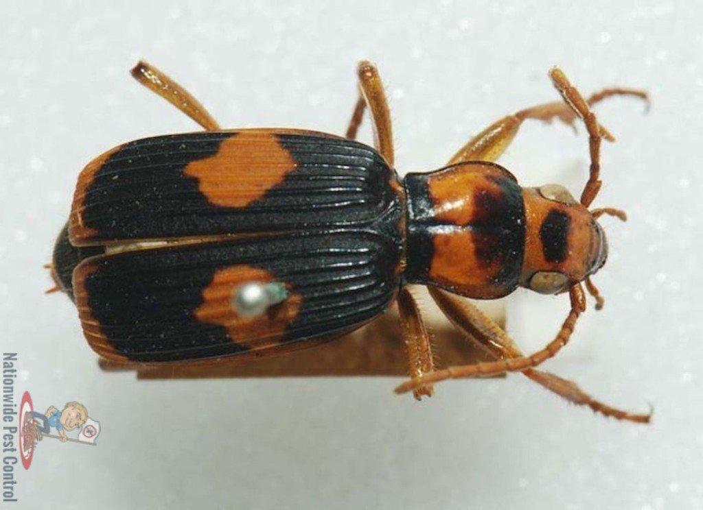 Bombardier beetle defense - photo#23