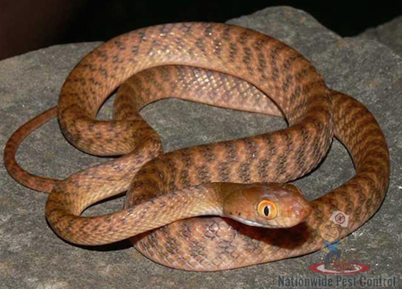 eastern-tiger-snake