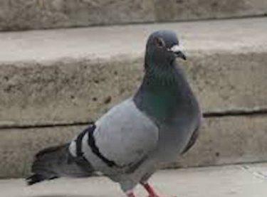 Birds – Non Native to Australia
