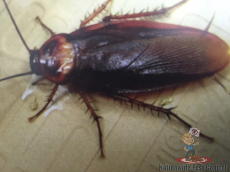 Cockroaches Nationwide Pest Controlnationwide Pest Control