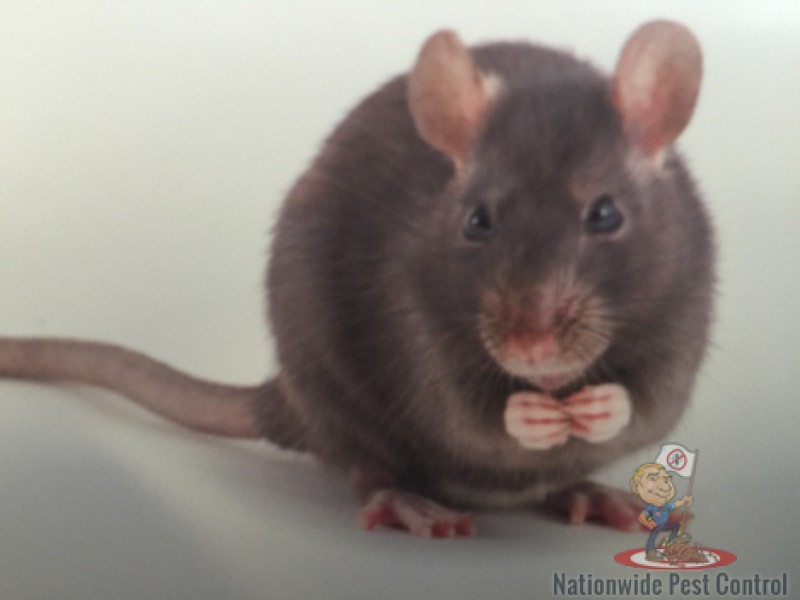 Rodents in Australia