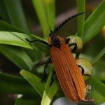 Beetles in Australia<br><br>