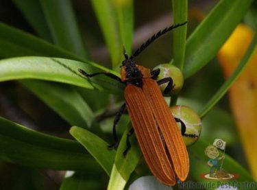 Beetles in Australia<br><br>