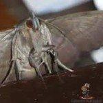 Moths in Australia