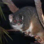 Possums In Australia<br><br>