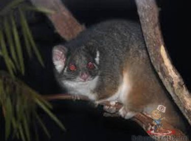 Possums In Australia