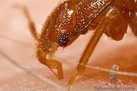 Bed Bugs in Australia