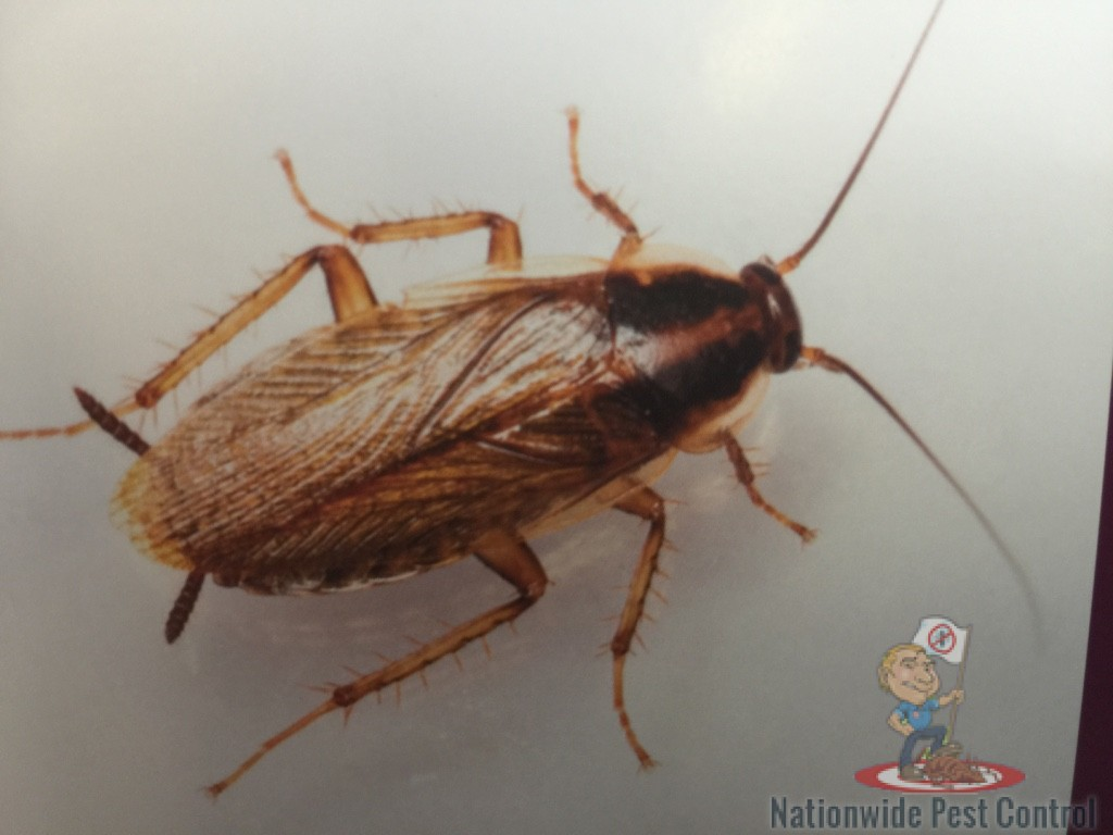 Cockroaches in Australia<br><br>