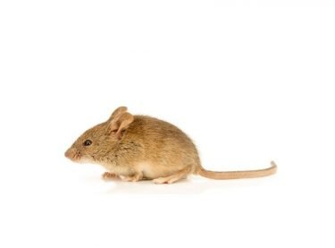 Rodents in Australia New